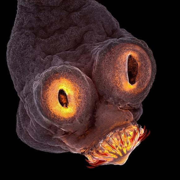 ¿Cómo se reproducen los parásitos en los humanos?